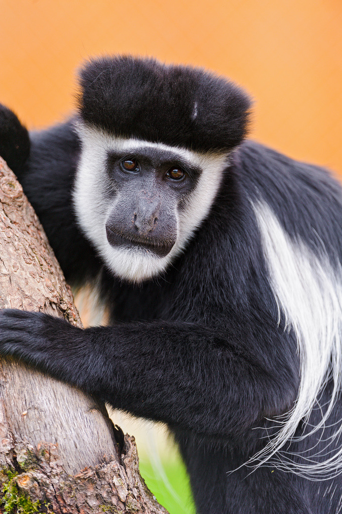 "theanimalblog:  Colobus climbing (by Tambako the Jaguar)  This looks like my ""friend"" COBE?? yeaaaupp it doess lol"