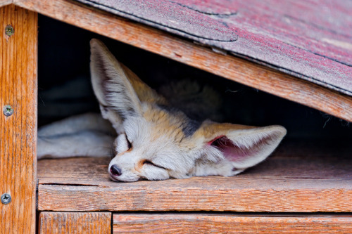the-absolute-best-photography:  Fennec sleeping under the roof (by Tambako the Jaguar) You have to follow this blog, it's really awesome!