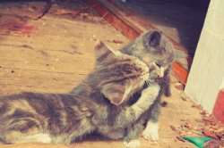 Cutefestis and morran, a kiss from a sister 😊 😍#eyes #cat #animal #photography #nature #beautiful #awesome #sunset #me #art(from @epicgirl on Streamzoo)