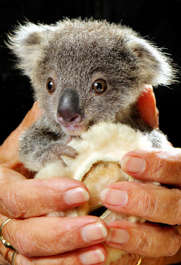 wellthatsadorable:  This cutie koala has been orphaned and is hugging this blanket in place of his mom. I WILL COME FOR YOU, BABY KOALA! I WILL TAKE YOU IN AND LOVE YOU FOREVER AND YOU CAN HUG ME LIKE THAT! AAAAHHHH MY HEART! (Thanks for the link, Miss Liddell!)