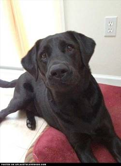 "Submitted by Samantha D: This is my 5 year old black lab Decker. He has many facial expressions, this being his ""throw the ball already!"" look haha"