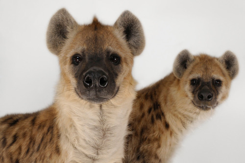 spotted hyena                                                                                                photo by joel sartore