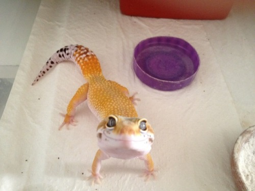 termin4l:  freak-uh-zoid:  nutella-boy:  look at this fucking lizard just look at him he's so fucking happy  AW HE SO HAPPY AWW  omgd jvkbdukjlbvlnrekjd
