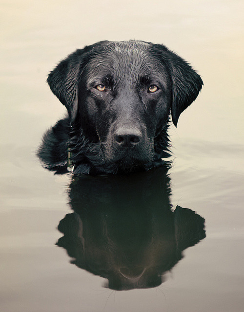 ihavelotsofdogs:  and he sits in the lake…. by Julie Hawkes on Flickr.