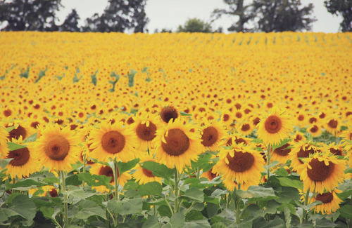 thedaintysquid:  A field of sunflowers. by Sarah{Jane} (LovelyEmberPhotography) on Flickr.