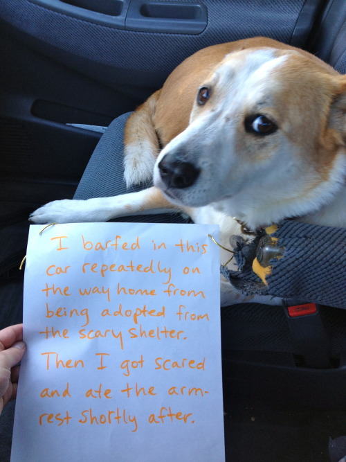 dogshaming:  Note: the dog was only allowed in the front seat for shaming purposes.  Poor baby! When I adopted Fender from the shelter, she spent the first week or so hiding behind the toilet.