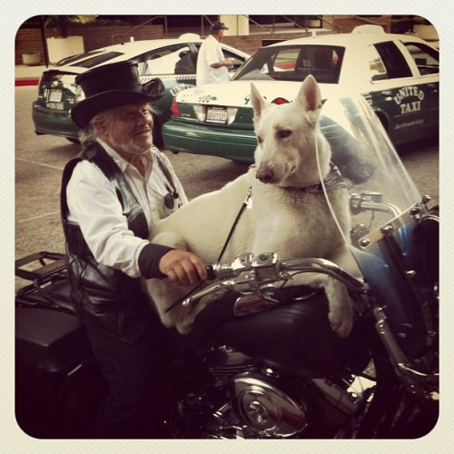 Gorgeous #dog! #motorcycle #harley #harleydavidson #gsd #white #germanshepherd #cali #la  (Taken with Instagram at Warner Center Marriott)