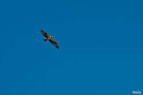 "Osprey on Flickr.  Via Flickr: This guy was alternating between soaring, hovering and diving after fish. As a kid I used to refer to these as Osprey Eagles, but they are not eagles and seem to be in their own class. According to Wikipedia: ""The genus, Pandion, is the sole member of the family of Pandionidae, and contains the sole species Osprey (P. haliaetus)."" ""The Osprey differs in several respects from other diurnal birds of prey. Its toes are of equal length, its tarsi are reticulate, and its talons are rounded, rather than grooved. The Osprey and owls are the only raptors whose outer toe is reversible, allowing them to grasp their prey with two toes in front and two behind. This is particularly helpful when they grab slippery fish. It has always presented something of a riddle to taxonomists, but here it is treated as the sole living member of the family Pandionidae, and the family listed in its traditional place as part of the order Falconiformes. Other schemes place it alongside the hawks and eagles in the family Accipitridae—which itself can be regarded as making up the bulk of the order Accipitriformes or else be lumped with the Falconidae into Falconiformes"" Yellowstone National Park"