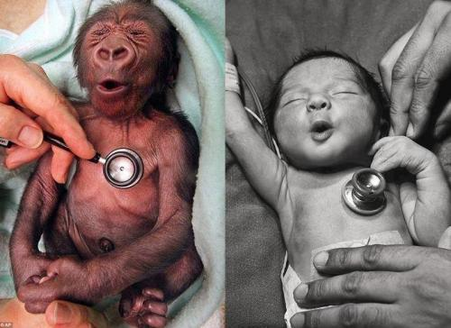 funnywildlife:  A gorilla, and a human baby reacting to the coldness of the stethoscope exactly the same way.