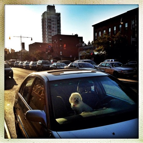 Clinton Hill, Brooklyn | September 12, 2012 The get-away driver. #photography #photojournalism #documentary #hipstamatic #streetphotography #nyc #dog #car (Taken with Instagram at US Post Office)