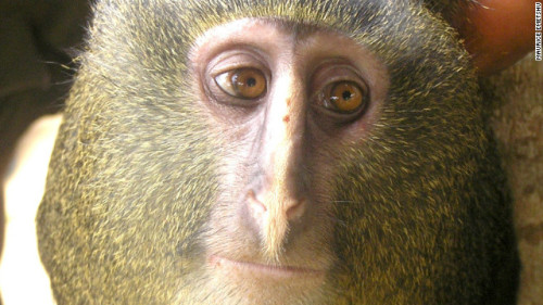 uncertaintimes:  New monkey discovered
