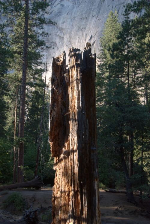 Hollowed Tree Stump, Banks of Merced River, Yosemite Valley ©2012 David Gershwin