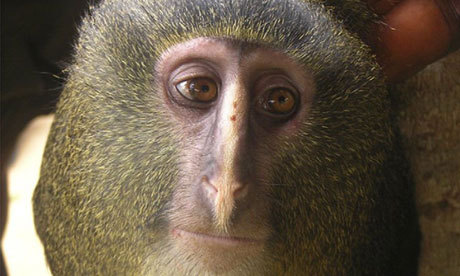 kissingunderspiderwebs:  breakingnews:  New monkey species identified in Democratic Republic of Congo Guardian:A new species of monkey has been identified in Africa in what is only the second time such a discovery has been made on the continent in 28 years. The finding is considered significant because the identification of mammals new to science is rare. 'Lesula,' as the monkey is known locally, has a naked face and mane of long blond hairs. Researchers say it is a shy and quiet creature that lives on the ground and in trees in a habitat of lowland rainforests.The animal's diet consists of mostly fruit and vegetation. Photo: A new species of monkey, known locally as the lesula. (Hart JA, Detwiler KM, Gilbert CC/PA)  Hey, don't I know you? You look familiar.  A new species of monkey, known locally as the lesula. so like not new as in the people who live there already know about it