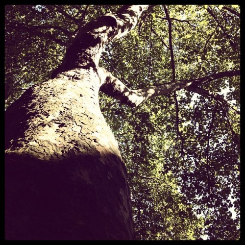 ye old tree (Taken with Instagram)