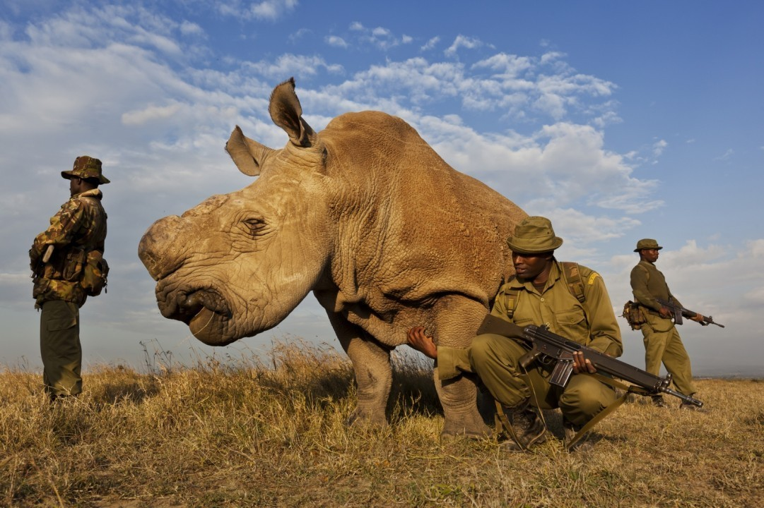 A four man anti-poaching team permanently guards an extremely rare Northern White Rhino, of which there are only four left in the entire world, in the Ol Pejeta Conservancy in Kenya on July 13, 2011.