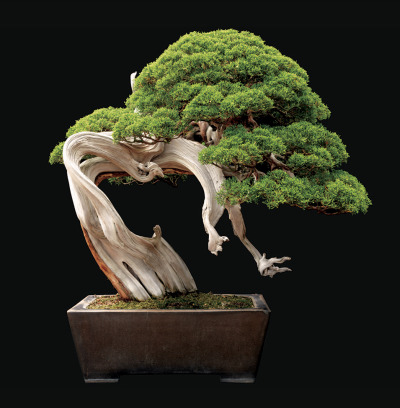 "smithsonianmag:    Picture-Perfect Bonsai  Bonsai, meaning ""to plant in a tray,"" is a tradition that originated in China about 2,000 years ago and later traveled to Japan. To cultivate a bonsai, a horticulture artist starts with cutting, seedling or small specimen of a woody-stemmed tree or shrub and then trains the plant to grow in a certain way, by pruning leaves and wiring branches into a desired shape. The goal is to create a miniature tree that looks natural, despite the artist's constant manipulations. - Continue reading at Smithsonian.com.  Photo: Courtesy of Jonathan Singer Ed note: Singer's Botanica Magnifica features beautifully photographed flowers and even earned a place in the National Museum of Natural History's rare book room."