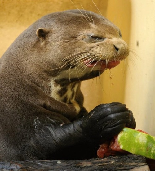 Otters don't like watermelons  Has anyone photoshopped Trip's face on this yet?