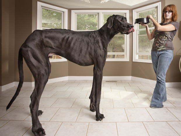By Zeus, that's a big dog! Michigan Great Dane named world's tallest canine A Great Dane called Zeus from Otsego, Michigan, who towers 7 feet 4 inches on his hind legs is named the tallest dog ever recorded in the latest Guinness Book of World Records. (AFP/GettyImages)