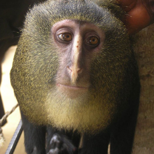 theanimalblog:  This is a new species of monkey which has been identified in Africa. The species, known locally as the lesula, was discovered after a young female was seen kept captive at the home of a primary school director in the Democratic Republic of Congo in 2007. The young animal resembled an owl faced monkey (Cercopithecus hamlyni) but its colouring was different to that of any known species, the researchers writing in the journal PLoS ONE said.  Picture: Hart JA, Detwiler KM, Gilbert CC, Burrell AS, Fuller JL/PA  But she looks so sad. so very sad.
