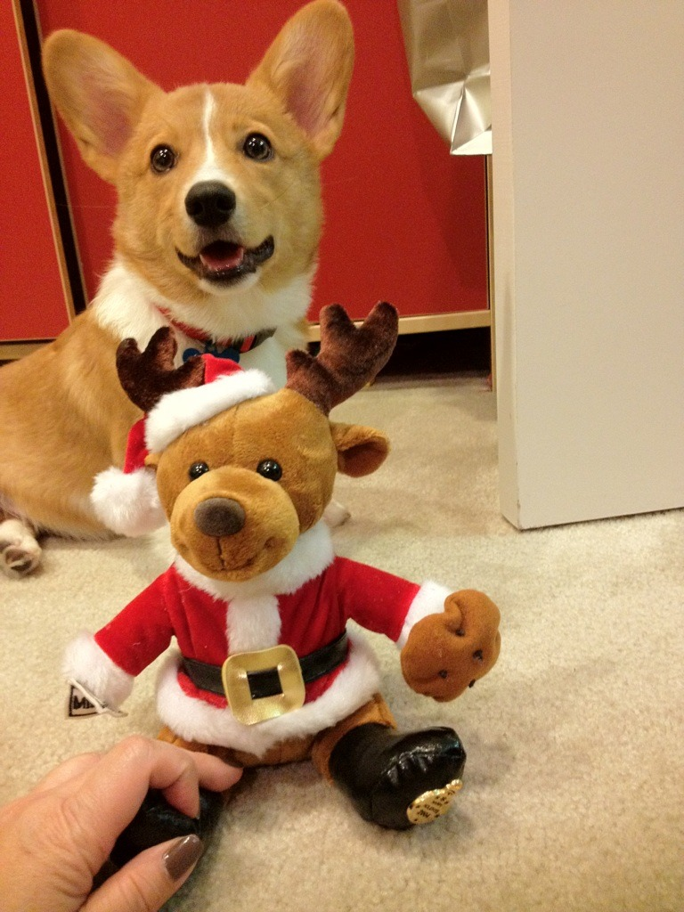 corgiaddict:  Corgi Christmas Card 2012? Submitted by Ventus the Corgi