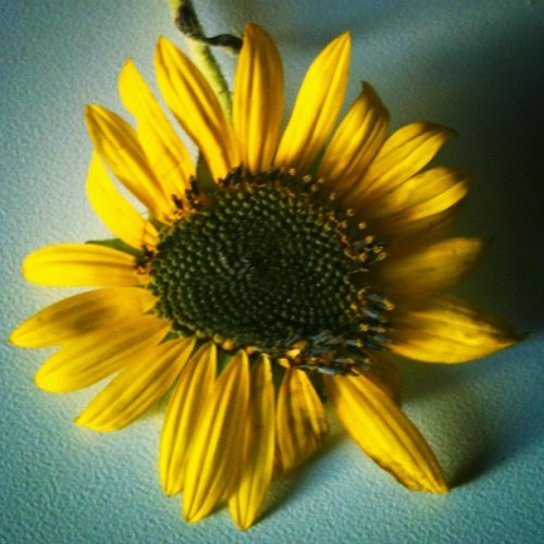 #iloveyellow #sunflower  (Scattata con Instagram)