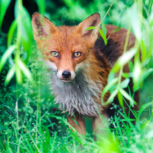 Fox in the vegetation (by Tambako the Jaguar)