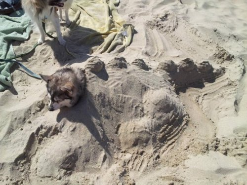 collegehumor:  Puppy Turned Into Sand Dinosaur Jurassic Park has some lovely beachfront areas.