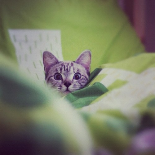 nala_cat:  Baby Nala was playing hide and seek 😘😄🐱 http://instagr.am/p/Phl69erC3s/