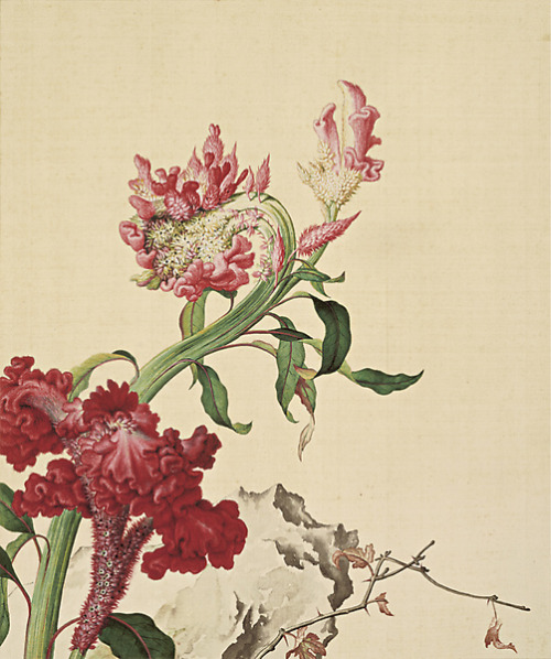heaveninawildflower:   Picture of cockscombs from Xian'e Changchun Album. Qing Dynasty Giuseppe Castiglione (1688–1766)  http://ttoopp.pixnet.net/blog/post/30587356 Wikimedia