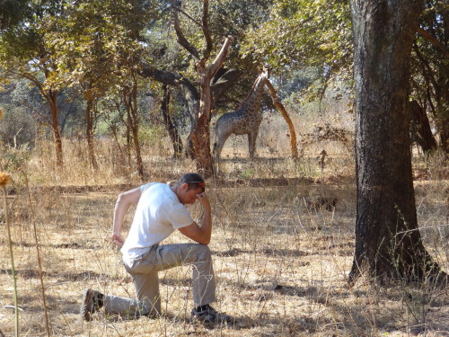 Wild giraffe Tebowing in South Luangwa, Zambia, Africa