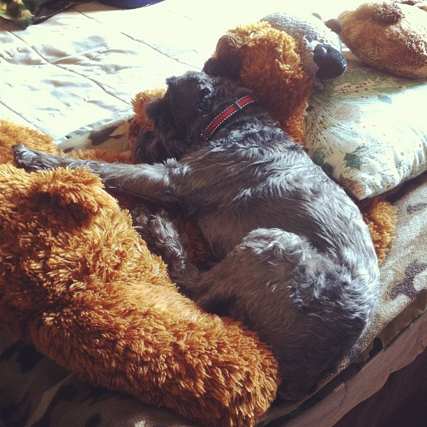 #schnoodle sleeping on stuffy wuffs  (Taken with Instagram)