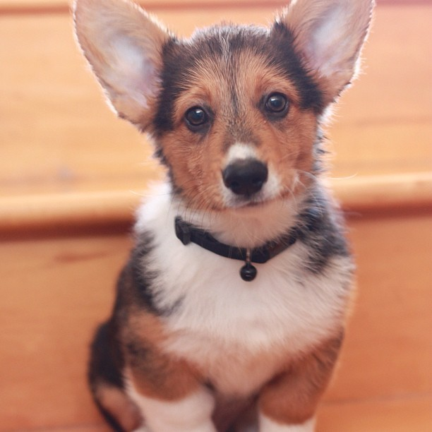 Baby baby wolfgang #corgi #cute #love #petstagram #corgistagram #igers #puppy #photooftheday  (Taken with Instagram)