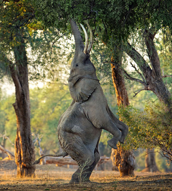 An elephant stands on its back legs to reach high leaves with its trunk in a forest at Mana Pools, a UNESCO World Heritage site in Zimbabwe. Photographer Morkel Erasmus captured this behaviour, which has made the Mana Pools elephants famous but has rarely been photographed.Picture: MORKEL ERASMUS / CATERS NEWS