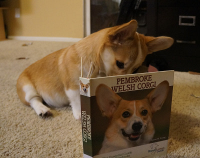 "corgiaddict:  ""I'm descended from the northern wolf?!?""submitted by: corgnelius.tumblr.com"