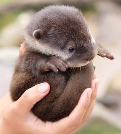 fracturedrefuge:  valkyrie5:  Oh my goodness, that's such a pile of cute!  Oh my god. It's a baby otter ball. #dead