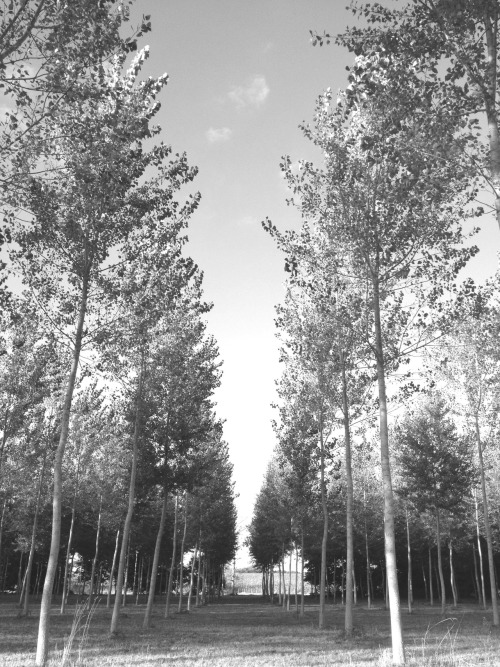Poplar trees by the Charente - my evening walk with the six Russells