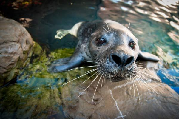 Will you be my friend? See video of a harbor seal playing tetherball by himself. If your heart just melted, you can sponsor a harbor seal here.