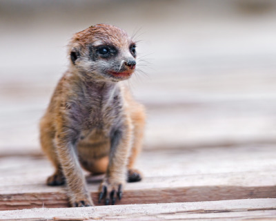 Baby meerkat sitting (by Tambako the Jaguar)