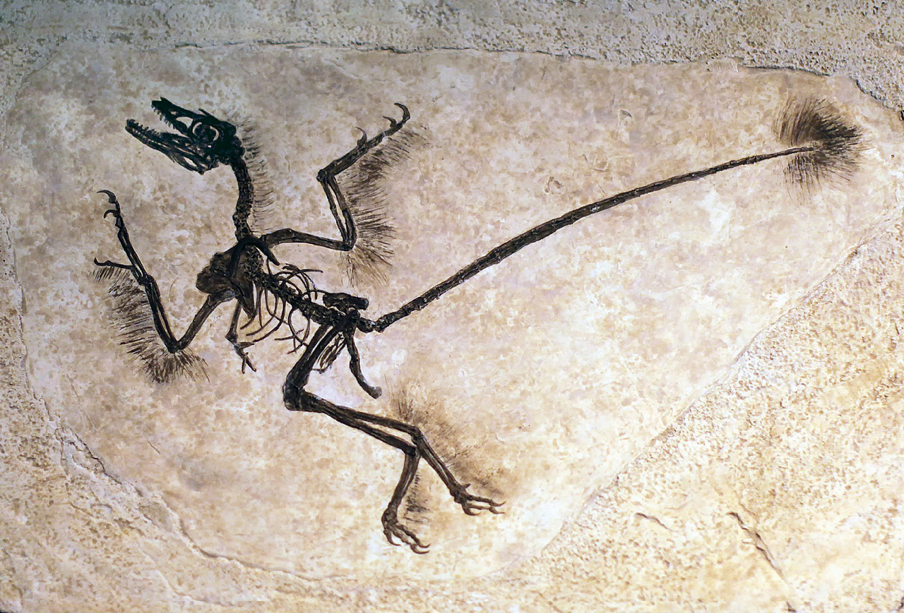 "Microraptor  Microraptor zhaoianus Photo of a fossil cast from the Arizona Museum of Natural History's ""Rulers of the Prehistoric Skies"" exhibit."