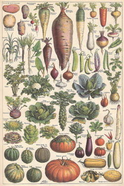 jomobimo:  Vegetables, Plate from the Larousse Universel in two volumes, 1922. Légumes et plantes potagères 1 by Ωméga * on Flickr.