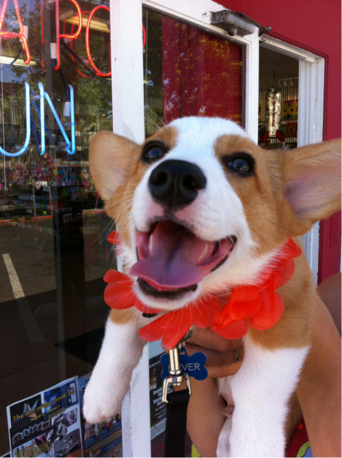 oliverthecorgi:  Happy corgi