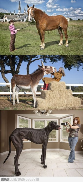 This just amazes me. Tallest horse, donkey and dog. o.o