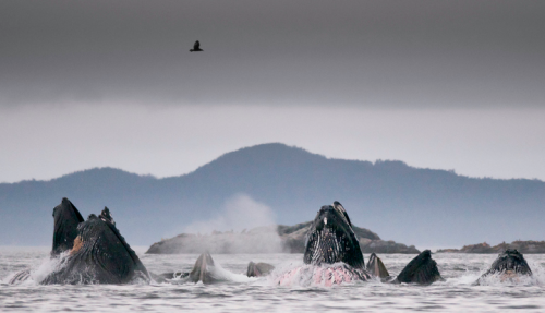 animals-animals-animals:  Humpback Whales (by Richard Price)