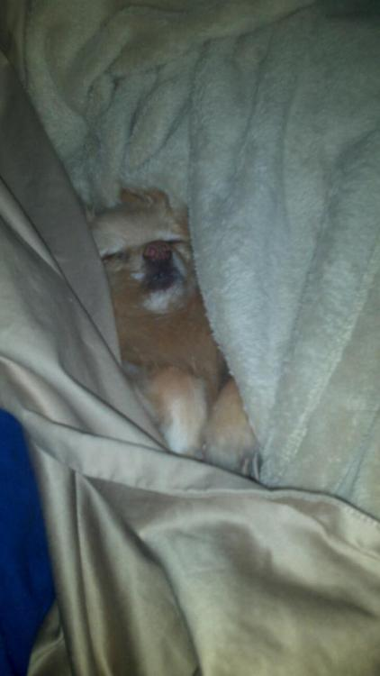 My cousin has a spoiled Pomeranian, and at night he steals the covers.