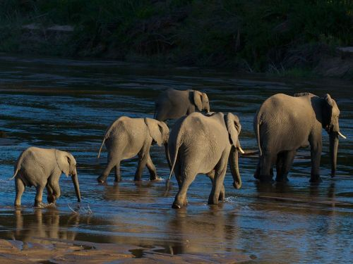 elephants crossing the sand river in the mala mala game reserve, africa, just one of several family groups of 150 individuals                                                                                                      PHOTOGRAPHY… DOUG CROFT
