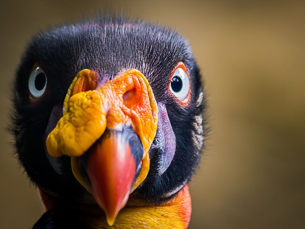 king vulture of central america.                                                                                                      photographer;..jorge. a. bohorquez.