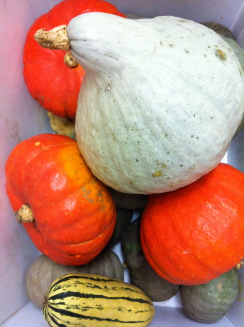 This weeks squash is a bit of a mixes bag situation. some of you will be receiving the giant blue hubbard and some of you will be receiving Kabochas.