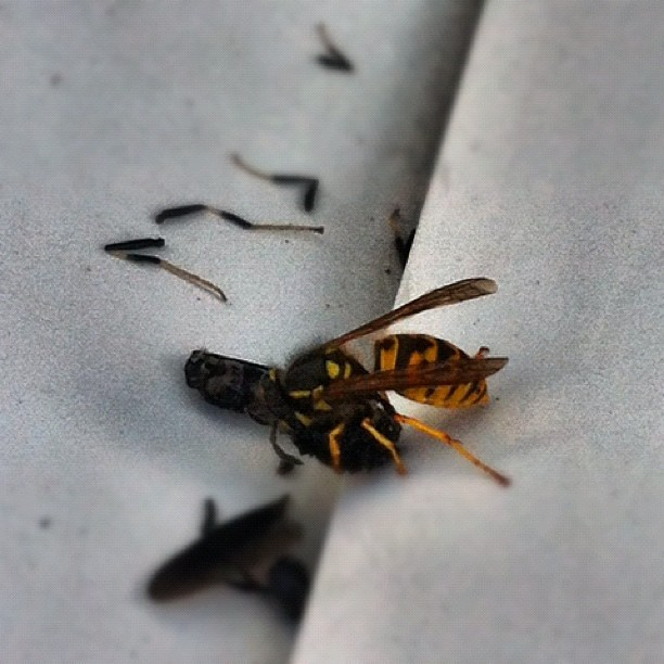 Bee eating a fly #nature #foodchain #insectmurderer  (Taken with Instagram)