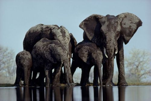a herd of elephants stop to drink at a watering hole .                                                   photo by des and jen bartlett .