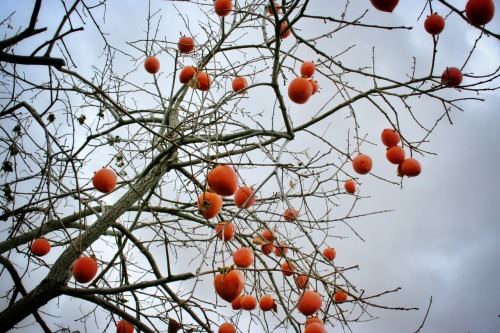 Mom's persimmon tree